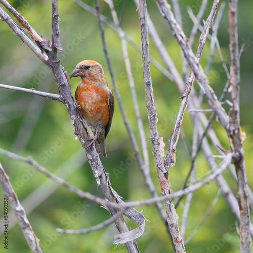 Perched Red Crossbill