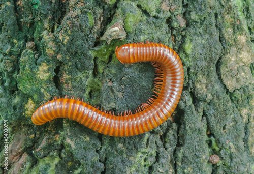 A scary millipede on the wood