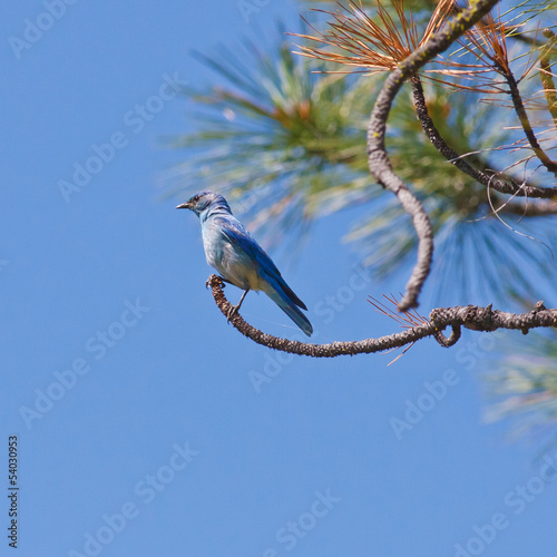Perched Mountain Bluebird