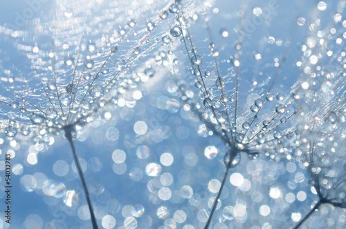 canvas print picture dandelion seeds with drops