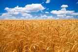 Fototapety Wheat field