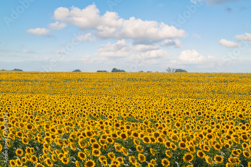 Growing sunflowers harvest in the field in near Edirne Turkey