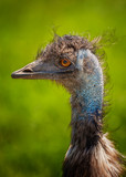 Emu Bird Portrait.