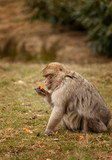 Macaque Inspecting a carrot at feeding time