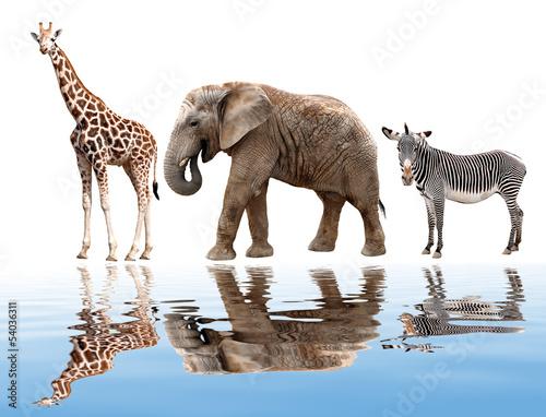 zyrafy-slonia-i-zebr-na-bialym