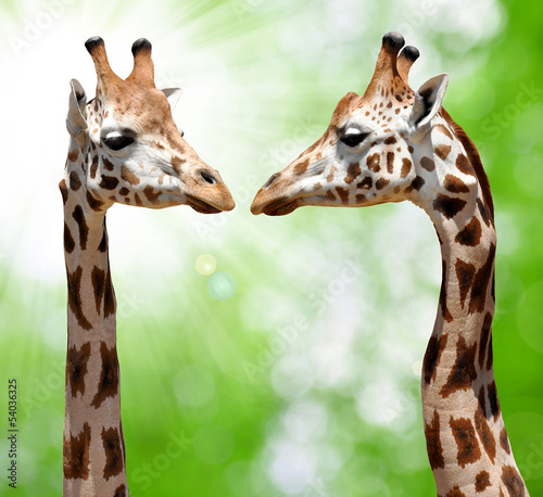 Fotobehang giraffes on natural green background