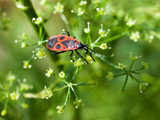 Pyrrhocoris apterus (red bug) on green plant.
