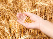 Child hand in gold wheat field holding seed