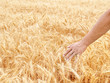 Male hand in gold wheat field
