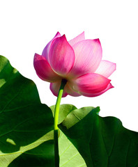 Beautiful lotus(Single isolated on white background)