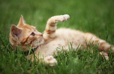 Little cat playing in grass. Selective focus, shallow DOF.