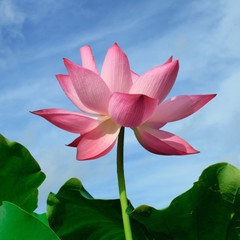 Lotus flower on blue sky