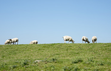 sheep on green grass