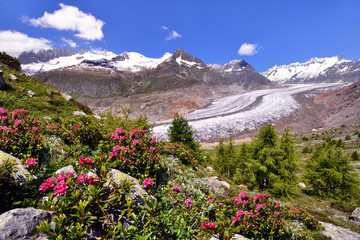 Grosser Aletschgletscher mit Alpenrosen