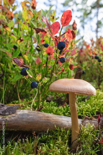 Blueberries and mushroome