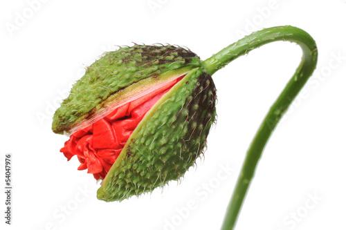 Mohnknospe, corn poppy