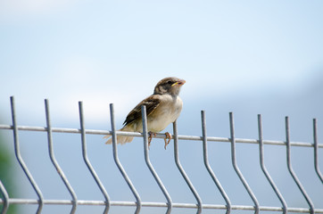 Young sparrow sitting on the metal fence