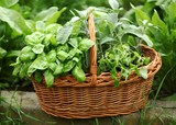 Detail of basket with fresh herbs in the garden.