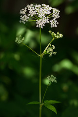 Cow parsley flower (Anthriscus sylvestris)