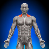 Trapezius Front / Nech Muscles - Anatomy Muscles poster
