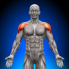 Shoulders / Deltoid - Anatomy Muscles