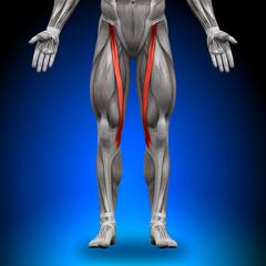 Sartorius - Anatomy Muscles