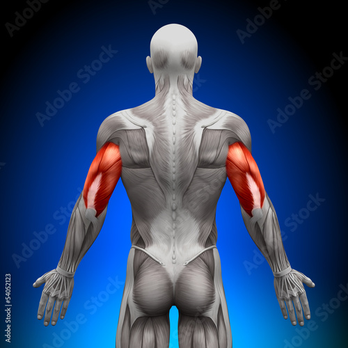 poster of Triceps - Anatomy Muscles