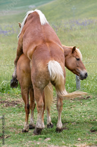 Amore equino - horse sex Stock photo and royalty-free