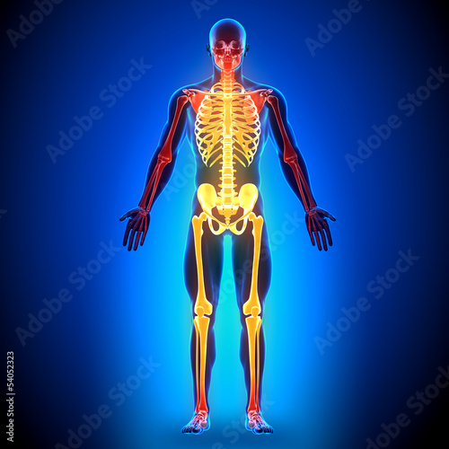 Full Skeleton - Anatomy Bones