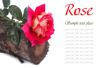 Beautiful rose on a tree stump isolated on white background