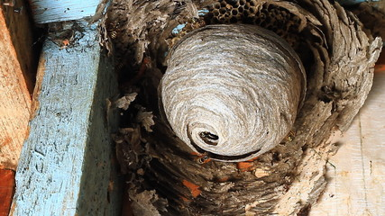 Wasp in Nest.Wasps building a nest.