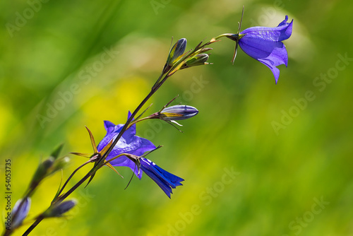 Big Bluebell or Campanula persicifolia