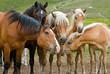cavalli al pascolo - horses grazing