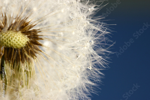Beautiful dandelion with seeds on blue background - 54054552