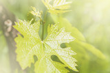 Grape leaves over blurred background