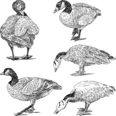sketches of geese