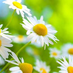 Kamille - Heilpflanze