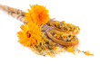 Fresh and dried calendula flowers in wooden spoons isolated