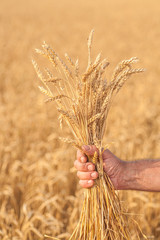 Ripe golden wheat ears in her hand