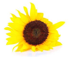 Bright sunflower isolated on white
