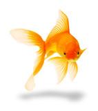 Fototapety gold fish