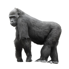 Silverback gorilla isolated on white background