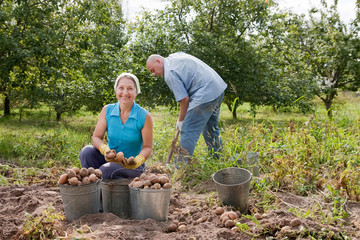 man and woman harvested potatoes