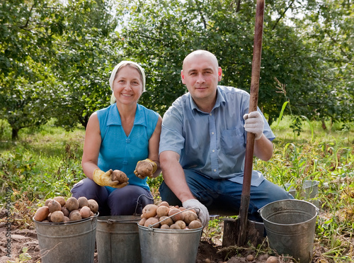 People harvested potatoes in field