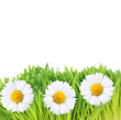 Fresh green grass and daisy flowers on white background