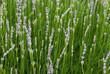 Detail of lavender flowers
