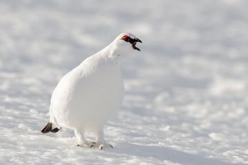 Ptarmigan in snow