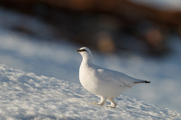 Ptarmigan on mountain