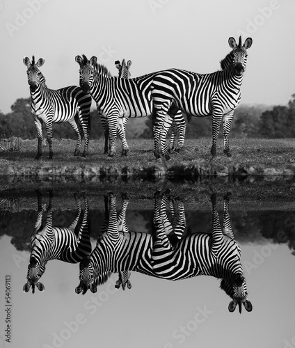 Foto op Aluminium Zebra Zebra with water reflection
