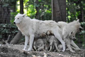 Wölfin mit Jungtieren